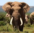 Portrait of a big tusker Bull Elephant Royalty Free Stock Photo