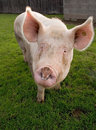 Portrait of biological Pig Royalty Free Stock Photo