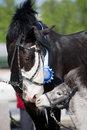 Portrait of black big horse and gray small pony Royalty Free Stock Photos