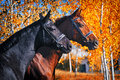 Portrait of black and chestnut horses in autumn Royalty Free Stock Photo