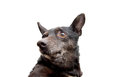 Portrait black dog white background Stock Image