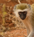 Portrait of a Black-faced vervet monkey Stock Image