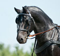 Portrait black friesian horse carriage driving Royalty Free Stock Photo