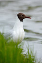 Portrait of black headed gull chroicocephalus ridibundus sitting on the green grass near the water finland Stock Photo