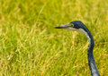 Portrait of a Black-headed Heron Stock Photos
