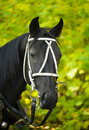 Portrait of a black horse Royalty Free Stock Photo