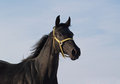 Portrait of black horse thoroughbred on a background sky Royalty Free Stock Images