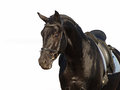 Portrait of black horse the ukrainian sport breed on a white background Stock Images