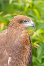 The portrait of black kite bird milvus migrans Stock Photo