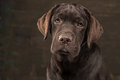 The portrait of a black Labrador dog taken against a dark backdrop. Royalty Free Stock Photo