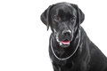 Portrait of black labrador retriever dog on isolated white Royalty Free Stock Photography