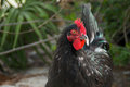 Portrait of black maran rooster Royalty Free Stock Images