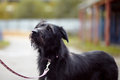 Portrait of a black not purebred dog doggie on walk the large mongrel Stock Images