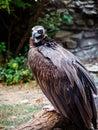 Portrait black vulture Royalty Free Stock Photo