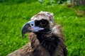 Portrait of a Black Vulture Royalty Free Stock Photo