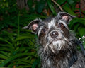 Portrait of a black and white border terrier mix dog looking up, Royalty Free Stock Photo