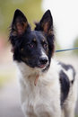 Portrait of a black and white dog not purebred doggie on walk the not purebred mongrel Stock Image