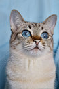 Portrait of blue eyed white cat on a background Stock Photography