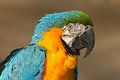 Portrait of blue and yellow macaw ara ararauna also known as the blue and gold macaw is a large south american parrot with blue Stock Photo