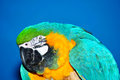 Portrait of blue and yellow macaw beautiful gold ara ararauna looking over background Stock Image