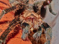 Portrait of brachypelma albopilosum tarantula spider eating cric macro big showed big jaw Royalty Free Stock Photos