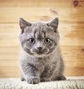 Portrait of british kitten short hair Stock Images