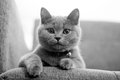 Portrait of a british shorthair baby kitten paws on the chair Royalty Free Stock Photography