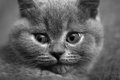 Portrait of a british shorthair close up kitten Royalty Free Stock Images