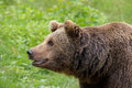 Portrait of a brown bear in forest in germany Royalty Free Stock Image
