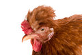 Portrait of a brown chicken isolated on white background Royalty Free Stock Photo