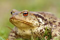 Portrait of brown common toad Royalty Free Stock Photo
