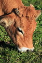 Portrait of a brown cow Royalty Free Stock Images