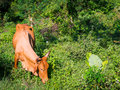 Portrait of a brown cow that eats green tree branches Royalty Free Stock Photo