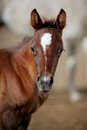 Portrait of a brown foal. Royalty Free Stock Photo