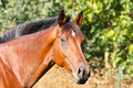 Portrait of a brown horse Stock Image
