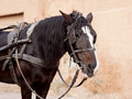 Portrait of a brown horse with cart in marrakech Royalty Free Stock Image