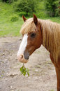 Portrait of brown horse with twig in muzzle Royalty Free Stock Photo