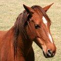 stock image of  Portrait of brown horse with white face markings