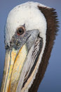 Portrait of Brown Pelican in Paracas Bay, Peru Royalty Free Stock Photo