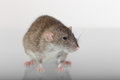 Portrait of a brown rat domestic and its reflection on the glass Stock Photography