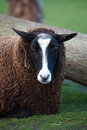 Portrait Of A Brown Sheep Lyin...