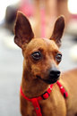 Portrait of brown toy terrier looking toward Stock Image