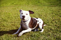 Portrait brown white pittbull sitting grass Stock Photography