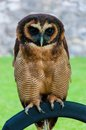 Portrait of brown wood owl against green background close up Royalty Free Stock Images