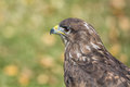 Portrait buzzard Royalty Free Stock Photo