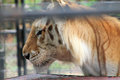 Portrait caged tiger rescued right after eating from table surface at renaissance festival south florida Stock Images