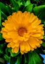Portrait of calendula flower