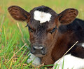 Portrait Calf Stock Photo
