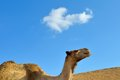 Portrait camel desert sky background negev israel Royalty Free Stock Images