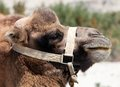 Portrait of camel head with halter Stock Photo